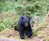 Black bear on trail Royalty Free Stock Image