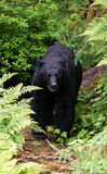 Black bear on trail Stock Images