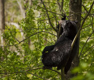 Black Bear on the tree Stock Photos