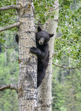 Black bear in a tree. A black bear sow climbs a tree.  Summer in Waterton Lakes national park Stock Images