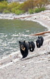 Black Bear with Triplets Stock Image