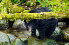 Black Bear under a moss covered log, Vancouver Isl Royalty Free Stock Images