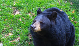 Black Bear up close, looking to side Stock Photo