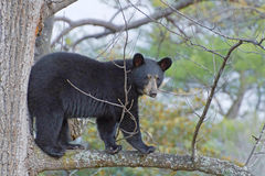 Black Bear Up a Tree Royalty Free Stock Images