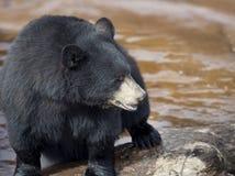 Black Bear near water Royalty Free Stock Photo