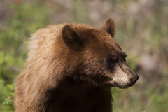 Black Bear, Ursus americanus Stock Photos