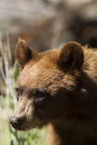 Black Bear, Ursus americanus Royalty Free Stock Photo