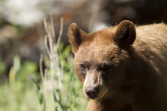 Black Bear, Ursus americanus Royalty Free Stock Photos