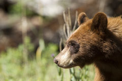 Black Bear, Ursus americanus Stock Images
