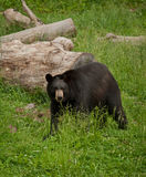 Black Bear (Ursus americanus) Stock Photography