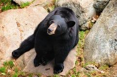 Black Bear (Ursus americanus) Stock Image
