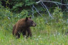 Black bear & x28;Ursus americanus& x29; with cinnamon colored fur, Jasper National Park Stock Photo