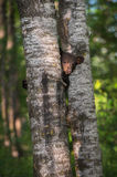 Black Bear Ursus americanus Cub Looks Around Tree Trunk Royalty Free Stock Photo