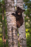 Black Bear Ursus americanus Cub Looks Down From Tree Trunk Royalty Free Stock Images