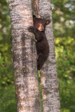 Black Bear Ursus americanus Cub Looks Up From Side of Tree Tru. Nk - captive animal Royalty Free Stock Images