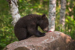 Black Bear Ursus americanus Cub SIts on Rock Eating Berries. Captive animal Stock Photo