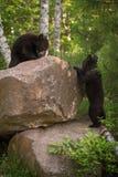 Black Bear Ursus americanus Cubs Climb on Rocks Stock Photography