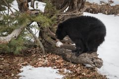 Black Bear Ursus americanus With Fur Tuft on Log. Captive animal Stock Photography