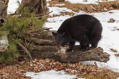 Black Bear Ursus americanus on Logs With Fur Tuft. Captive animal Stock Photography