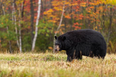 Black Bear (Ursus americanus) Looking Left in Field Royalty Free Stock Photos