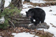 Black Bear Ursus americanus Looks Out With Deer Fur Tuft. Captive animal Stock Image