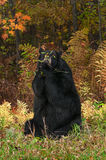 Black Bear (Ursus americanus) Nibbles on Branch Stock Images