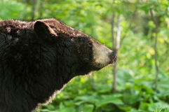 Black Bear (Ursus americanus) Profile Backlit Royalty Free Stock Photo