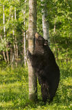 Black Bear (Ursus americanus) Scratches Chin on Tree Stock Photo