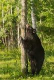 Black Bear (Ursus americanus) Scratches Chin on Tree Stock Photo