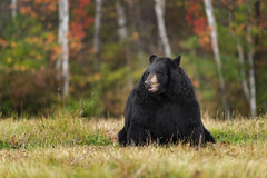 Black Bear (Ursus americanus) Sits in Field with Autumn Colors Stock Image