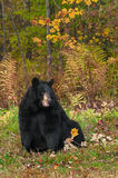 Black Bear (Ursus americanus) Sits Looking Right Stock Photography