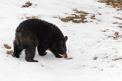 Black Bear Ursus americanus Sniffs at Fur Tuft. Captive animal Royalty Free Stock Photography