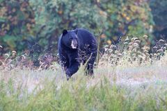 Black Bear (Ursus americanus). Walking in a field in fall Stock Photography