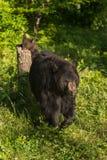 Black Bear (Ursus americanus) Walks Away From Cub on Stump Stock Photos
