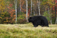 Black Bear (Ursus americanus) Walks Left in Autumn Colors Stock Images