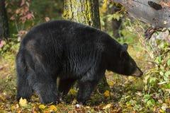 Black Bear Ursus americanus Walks Past Tree stock photos