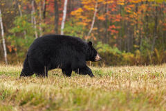Black Bear (Ursus americanus) Walks Right in Autumn Colors Royalty Free Stock Photo