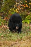 Black Bear (Ursus americanus) Walks Towards Viewer Stock Photos