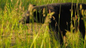 Black Bear stock video footage