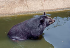 Black bear. Royalty Free Stock Image
