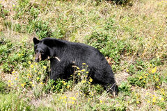 Black bear walking Stock Photo