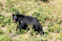 Black bear walking. In a meadow Stock Photo