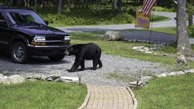 Black Bear Walking Across My Driveway. This nuisance bear visits my home in the Poconos, Pennsylvania often while looking for food. On this day, he was walking stock photography