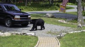 Black Bear Walking Across My Driveway stock photography