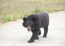 Black bear walking around the zoon road Stock Images