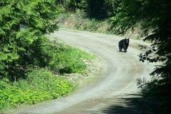 Black Bear. A black bear walking down a gravel road in northern BC Royalty Free Stock Photo
