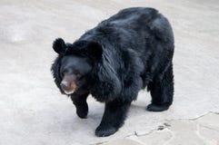 Black bear. Walking himalayan black bear with big fluffy ears Royalty Free Stock Photo