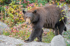 Black bear walking our of the forest. A black bear is walking out of a fall foliage forest Royalty Free Stock Photos