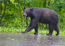 Black Bear walking in the rain, Smoky Mountains. Royalty Free Stock Photos