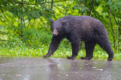 Black Bear walking in the rain, Smoky Mountains. Royalty Free Stock Images